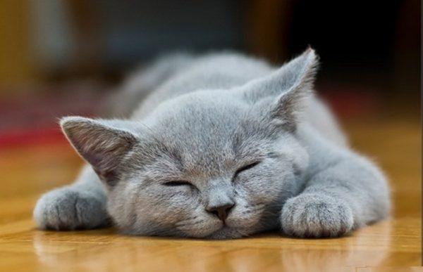 Спящий шартрез