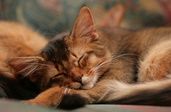 Спящий сомалийский кот-подросток