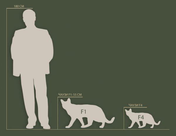 Сравнение чаузи F1 и F4 с человеком