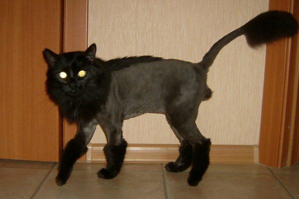 Стриженый чёрный кот «в сапогах»