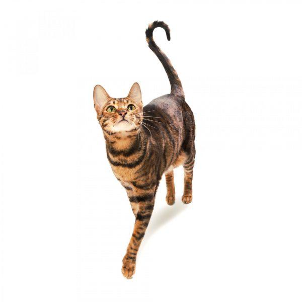 стройная кошка породы тойгер