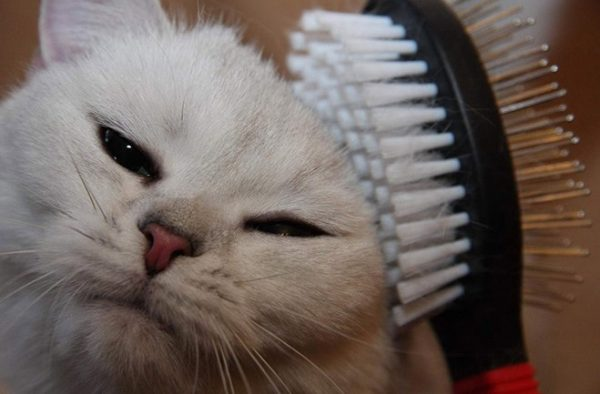 кошку чешут щёткой