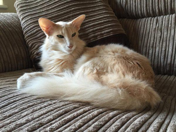 Светлая длинношерстная ориентальная кошка на диване