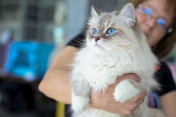 Светлая маскарадная кошка на руках хозяйки