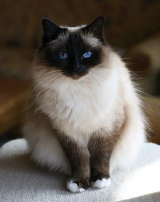 Священная кошка бирма
