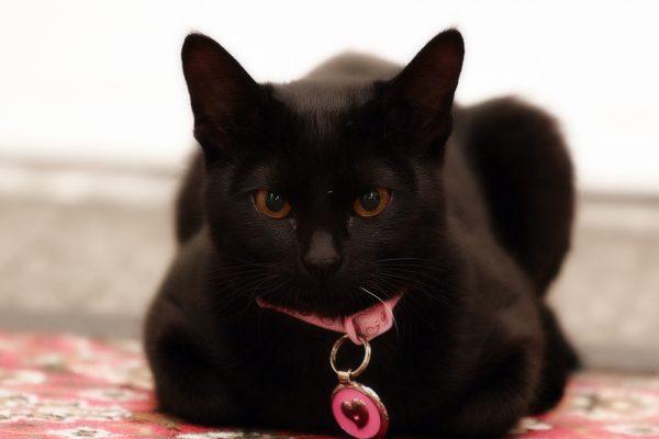 Бомбейская кошка с розовым ошейником