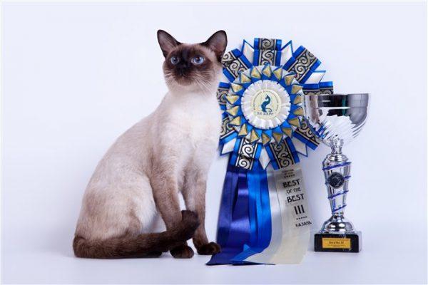 Тайская кошка рядом с кубком и лентой победителя
