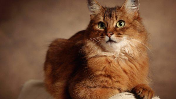 Рыжий сомалийский кот на спинке дивана