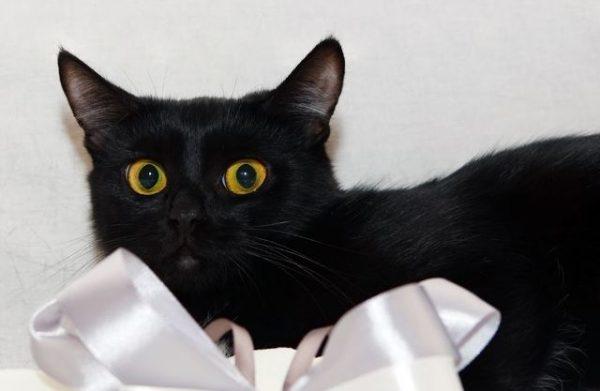 Бомбейская кошка рядом с атласным бантом