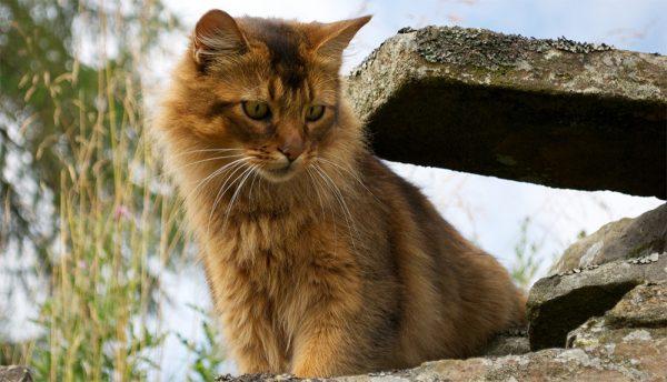 Сомалийский кот сидит около бетонных плит