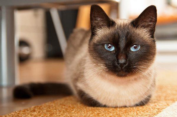 Тайская кошка лежит на полу
