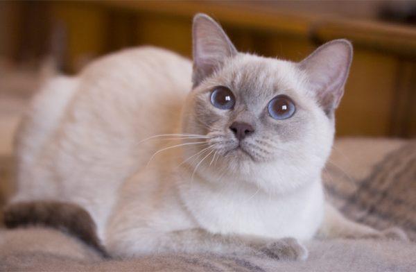 Тайская кошка на клетчатом пледе