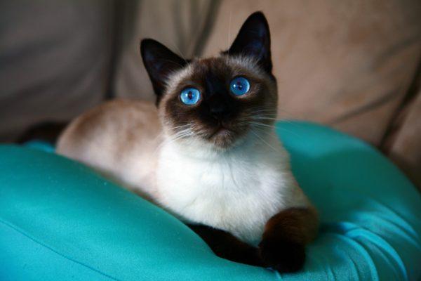 Тайская кошка на зелёной подушке