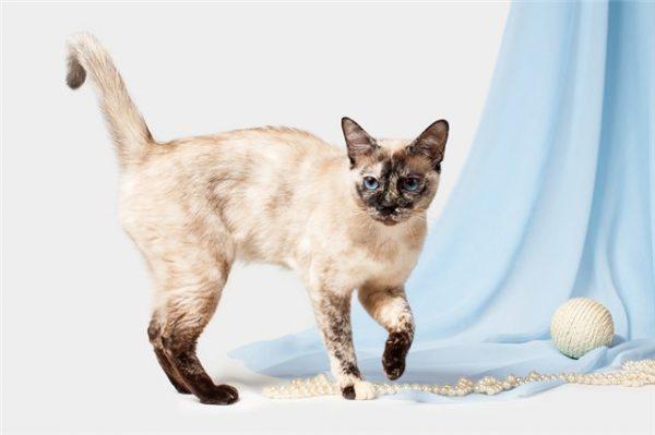 Тайская кошка с жемчужными бусами на фоне голубой шторы