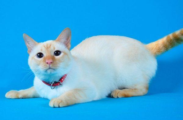 Тайский кот на голубом фоне
