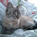 Тайский кот с полосками на отметинах