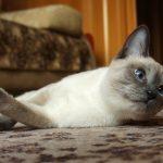 Тайский кот с серой мордой