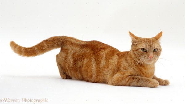 Рыжая кошка в позе с оттопыренной задней частью тела