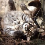 Подросший котёнок темминки