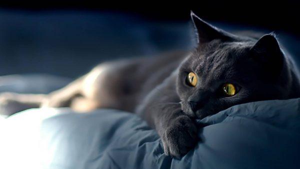 Тёмно-серая кошка с янтарными глазами в полумраке