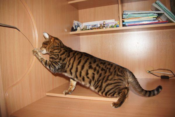 тигровый кот трогает провод