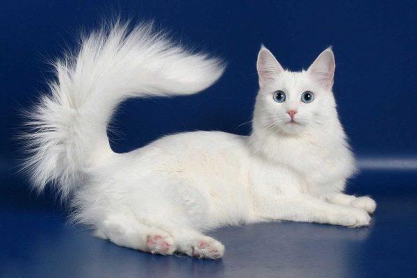 Хвост кошки ангорской породы