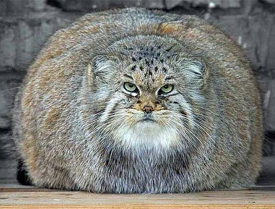 Толстый манул