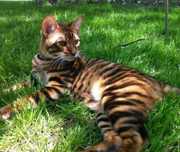 тойгер лежит на траве в тени