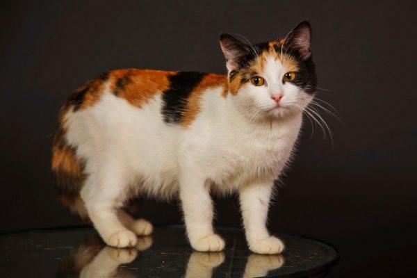 Трёхцветная кошка на столе