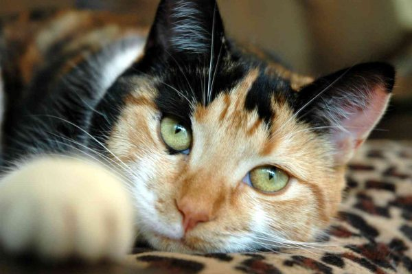 Трёхцветная кошка лежит