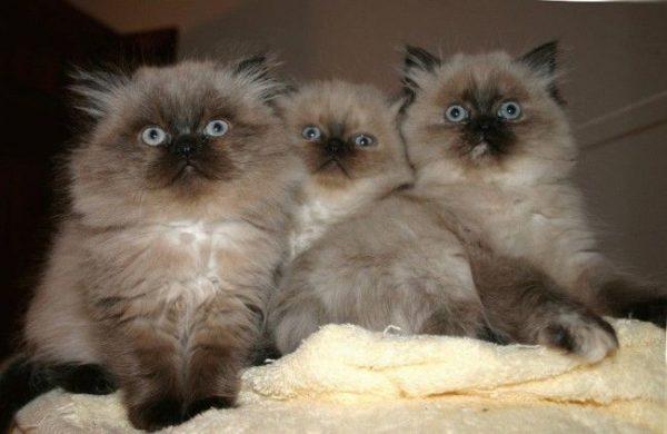 Три гималайских котёнка