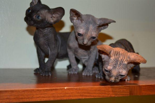 Три котёнка породы сфинкс