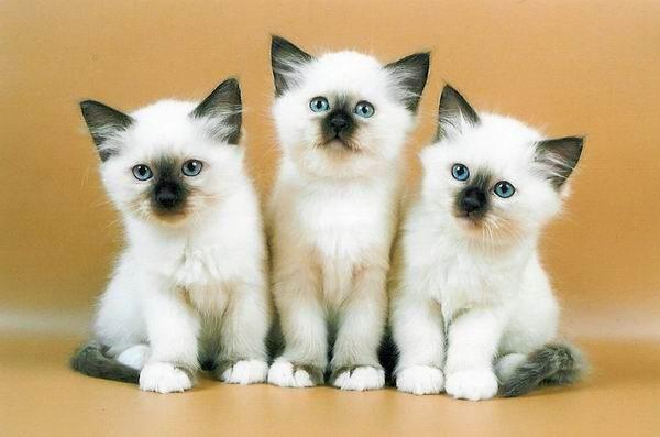 Трое котят бирмы
