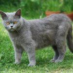 Описание общего вида кота шартрез