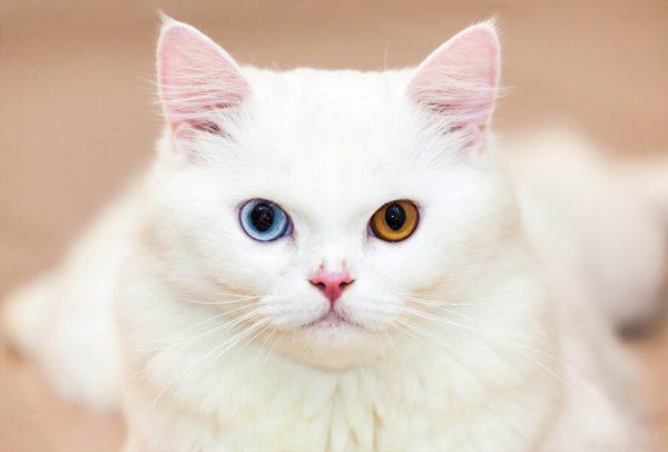 Турецкая ангора с разными глазами