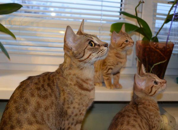 кошка-оцикет и два котёнка