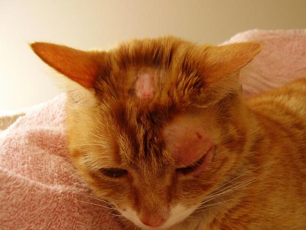 Залысины у кошки