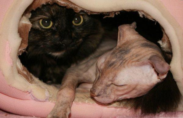 Украинский левкой и кот другой породы
