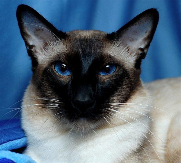 Умный балийский кот