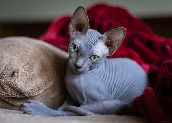 Кошки породы сфинкс фото
