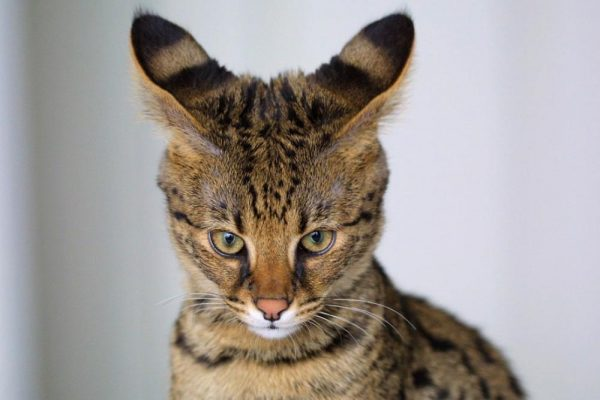 Уши кошки породы саванна