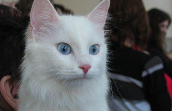 голубоглазая кошка на фоне людей