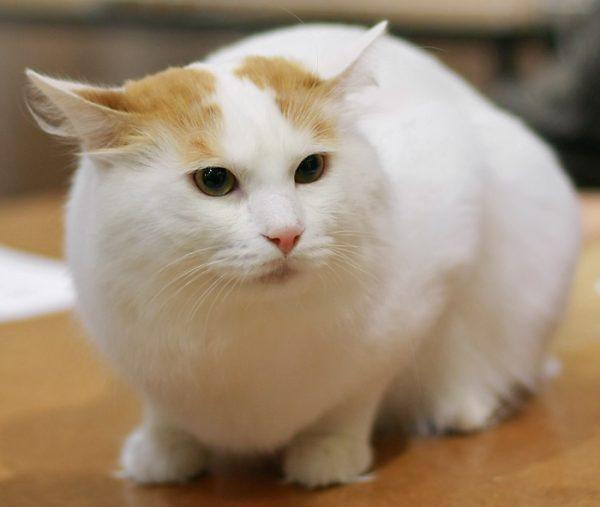 ванской кот прижимает уши к голове