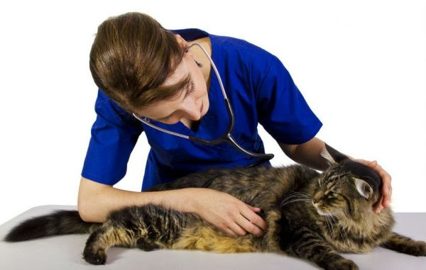 Ветеринар прослушивает и гладит кота