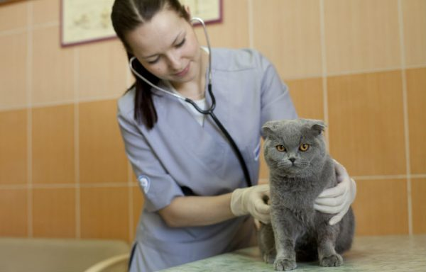 Ветеринар прослушивает кошку