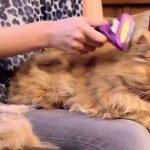Вычёсывание рыжего пушистого кота