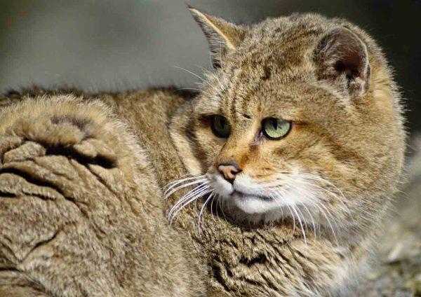 Взрослый камышовый кот