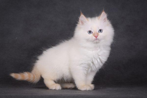 Рыжий маскарадный котёнок на фоне серой стены