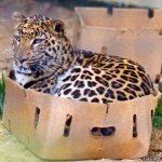 Ягуар в коробке