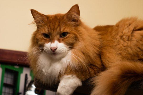ярко-рыжая норвежская кошка с белыми лапами